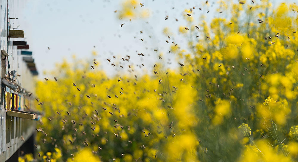 bees returning to their hives from yellow flowers